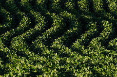 soya green (NetAgra) Tags: tamron soya july25 rows sidelight 2016 evening waves nikon7000 sun crops contrast wisconsin agriculture july green summer soy farm soybeans