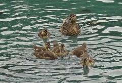 The Renfrew Six (Bricheno) Tags: renfrew bricheno mallard mallards duck ducks ducklings pond park robertsonpark scotland escocia schottland cosse scozia esccia szkocja scoia