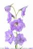 Delphinium Cameliard *5* (Zoë Power) Tags: flowers summer june purple whitebackground mygarden delphinium cameliarddelphinium