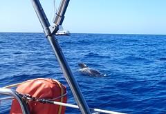 DSC_3458 (daeljan) Tags: blue sea tenerife whale adeje