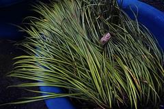 20160726_DP0Q4844 (NAMARA EXPRESS) Tags: street plant flowerpot green blue cloudy outdoor color foveonclassicblue toyonaka osaka japan foveon sigma dp0 quattro namaraexp