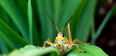 Grasshopper! (.Danny.B [Nature Photography]) Tags: nature flickr new explore grasshopper insect dirt green leaf macro lens kit hiding hd