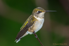 Ruby-throated Hummingbird (Archilochus colubris) (danielusescanon) Tags: wild brooksidegardens maryland redthroatedhummingbird archilochuscolubris birdperfect animalplanet