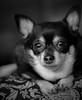 Lula's Day (NYKat33) Tags: dog pomchi puppy pet love nikon d3100 black white portrait monochrome