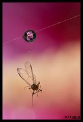 a present (MathBIB) Tags: fleur flower nature violet rose pink purple macro canon 70d 60mm toile araigne siper web moucheron gnat goutte eau water drop