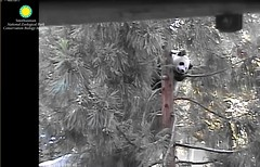 Panda Bei (pattie7459) Tags: ccncby smithsonianscreenshot nationalzoo panda