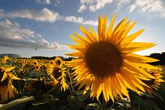 Sunflower (rubenjesmiatka) Tags: sunflower geneva geneve genf sunflowerseed