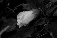 McKee-Beshers WMA (elisecavicchi) Tags: monochrome blackandwhite black white bw dark shadow obscure blossom evening sundown gloaming darkening bloom mckee beshers mckeebeshers wildlife management area poolesville maryland rural explore melancholy