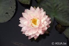 DSC_7842 (Waterlelie.be) Tags: 2012 bethel noordamerika nymphaea nymphaeaawesome ohio tonymoore verenigdestatenvanamerika 1stebloeidag