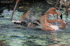 Flamingo in the water (Magic life gallery) Tags: aviarionacional bolvar colombia co