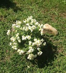 Fiorellini di Trilli e Carlotta (Cici-chan) Tags: fiorellini