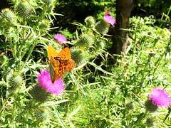 Details. (La_Andre) Tags: iphone6 iphone trentinoaltoadige trentino folgaria dettagli meravigliedellanatura natura rosa fiori farfalla details detail amazing wonders wondersofnature nature pink flowers butterfly