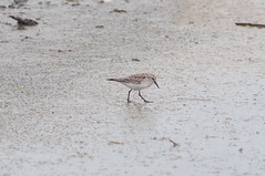 White-rumped Sandpiper (martytdx) Tags: heislerville heislervillewma nj birds shorebird sandpiper whiterumpedsandpiper calidrisfuscicollis calidris scolopacidae lifelist migrationspring2016