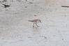 White-rumped Sandpiper (martytdx) Tags: heislerville heislervillewma nj birds shorebird sandpiper whiterumpedsandpiper calidrisfuscicollis calidris scolopacidae lifelist migrationspring2016