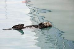Sea Otter Resting Seward Marina Alaska USA North America (eriagn) Tags: reflections boatreflections paint pontoons sea salt wateralaskawildlifefurrycutefloatingrestingdozingngaire hartngaire lawsoneriagnwildlifemarinemammalweaselwater abstract pattern exploreunexplored