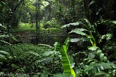 Laguna de Selva Nublada. (Franklin Artiles L.) Tags: venezuela aragua carabobo vegetacin verde natural natura parque nacional henri pittier laguna selva nublada humedal humedad sendero montaa senderismo montaismo ecologa