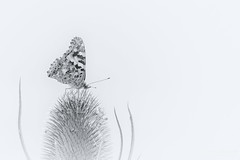 Distelfalter Vanessa cardui (Thomas Haeusler) Tags: schmetterling edelfalter butterfly distelfalter vanessa cardui ngc