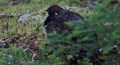 Spruce Grouse (millerb34) Tags: birdperfect