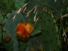 Prickly Pear (Elmore Dodge) Tags: red cactus orange flower color yellow closeup lumix texas n panasonic pear pricklypear wildflower prickly
