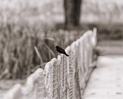 A Moment of Clarity (ddurham000) Tags: bird net monochrome fence colorado depthoffield perch netting blackbird redwingblackbird