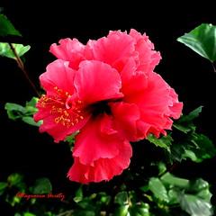 Hibisco/Hibiscus (Altagracia Aristy) Tags: amrica dominicanrepublic hibiscus hibisco tropic caribbean antilles laromana cayena caribe repblicadominicana carabe trpico antillas quisqueya altagraciaaristy fujifilmfinepixhs10 fujihs10 fujifinepixhs10