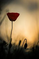 Sunset poppy (Thomas Vanderheyden) Tags: sunset red flower macro fleur rouge flora artistic pentax bokeh ngc poppy coucherdesoleil coquelicot flore naturesfinest beautifulearth thomasvanderheyden tomtomphotography picartnature