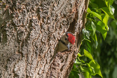 GSW-2496 (WendyCoops224) Tags: canon eos woodpecker great chick spotted signsofspring springwatch 70d 100400mml oliveswood wendycooper