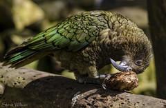 The New Zealand Kea (Steve Wilson - over 8 million views Thanks !!) Tags: new green bird animal nikon wildlife parrot zealand alpine endangered rare avian clever intelligent endangeredspecies blackpoolzoo d7000 nikond7000