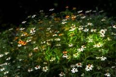 Good Morning! (AjayGoel2011) Tags: world flowers white blur color green yellow nikon explore creativecommons nikkor decisivemoment ajaygoel dappledlight flickriver