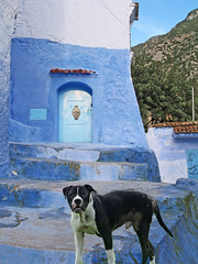 Waiting for a Door to Open (Ellsasha) Tags: dogs straydogs canine animalrescue chefchaouen morocco houston blues northafrica mergedimage