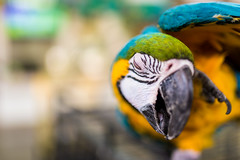 ZON_9905 (Zonnie) Tags: nikon d600 sigma 35 f14 sb700 dof bokeh closeup parrtos birds wildlife animals
