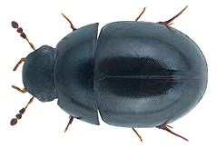 Coelostoma subditum d`Orchymont, 1936 (urjsa) Tags: coleoptera kfer beetle insect hydrophilidae coelostoma subditum coelostomasubditum thailand sdostasien southeastasia taxonomy:binomial=coelostomasubditum taxonomy:family=hydrophilidae taxonomy:genus=coelostoma taxonomy:species=subditum geo:country=thailand coleopteraus kaefer insekt suedostasien