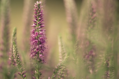 Deep summer (Elena L-v) Tags: summer flower blossom bokeh outdoor meadow veronica bloom speedwell