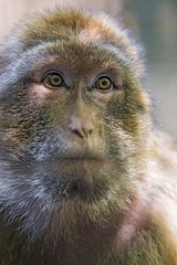 Close portrait of a macaque (Tambako the Jaguar) Tags: close portrait face looking macaque barbary primate ape monkey jonskleinefarm kallnach zoo bern switzerland nikon d4