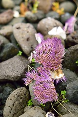 Purple Urchin shell (35mmMan) Tags: iceland 2016 nikon dslr d5300 westfjords viking museum keflavik sea urchin purple lava rocks