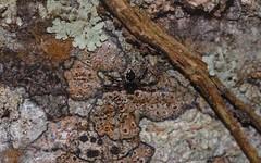 Emertonella sp. (dustaway) Tags: arthropoda arachnida araneae araneomorphae theridiidae hadrotarsinae emertonella australianspiders crabbescreek northernrivers nsw nature australia