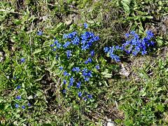 Ruta Lagos de Saliencia. Flores azules (Parque Natural de Somiedo, Asturias) (Juan Alcor) Tags: asturias parque natural somiedo lagos saliencia ruta vegetacion flores azules