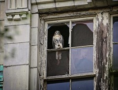 Fledgling hawk visits CHARAS (Goggla) Tags: nyc new york manhattan east village tompkins square park urban wildlife bird raptor red tail hawk fledgling juvenile charas broken window goglog