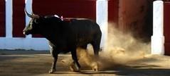 Cret de Toros (aficion2012) Tags: toro bull bullfight corrida ceret escolar gil francia france 2014