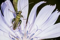 Flower Beetle Oedemera noblis (DavidHowarthUK) Tags: rainhammarshes rspb essex july 2016 chicory flower flowerbeetle oedemeranobilis