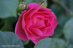 The Rose (jimgspokane) Tags: flowers roses manitopark duncangarden nikonflickraward spokanewashingtonstate