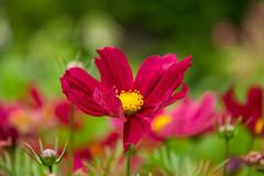 Flower (Infomastern) Tags: lund flower blomma botanicgarden geolocation botaniskatrdgrden geocity camera:make=canon exif:make=canon geocountry geostate exif:lens=efs18200mmf3556is exif:focallength=140mm exif:aperture=56 exif:isospeed=500 camera:model=canoneos760d exif:model=canoneos760d