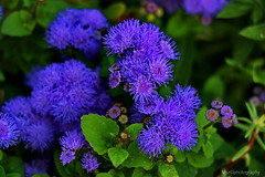 flowers (vozNS) Tags: flower blue cvet cvee plavo