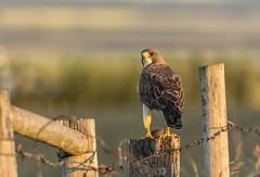 Caught (Tracey Rennie) Tags: fence hunting prey vole raptor hawk alberta swainsonshawk goldenhour highriver