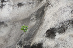 DSCN2406A - Tree Growing Out Of A Cement Wall At Diamond Head (PryanksterDave (Dave Price)) Tags: 2016 hawaii trip travel diamondhead