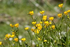 ckuchem-1459 (christine_kuchem) Tags: blumen ranunculus gelb garten frhling naturgarten hahnenfus privatgarten