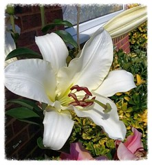 Pretty Woman. Lily so bold and beautiful ! (Elaine 55.) Tags: flower lilium prettywoman