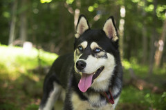 Duke (Toki.Photos) Tags: husky duke dog dogs male black white color canon outdoors sun trees tree green blue eyes tongue