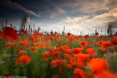 (Claire Hutton) Tags: uk flowers sunset red motion blur flower colour green nature field landscape outdoors movement windy wideangle dorset poppy poppies remembrance leefilters ndgrads witchampton sonya6000