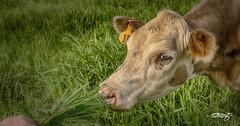 #15 (dougkuony) Tags: noblepastures 15 cattle calf grassfed organic livestock redoak organicfarm hdr